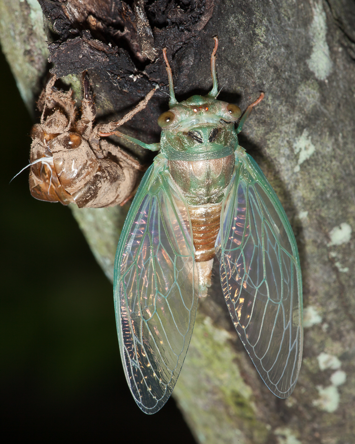 Swamp cicada, Tibicen chloromea, sheeding the last juvenile exoskeleton and emerging as an adult. Princeton, New Jersy, USA.